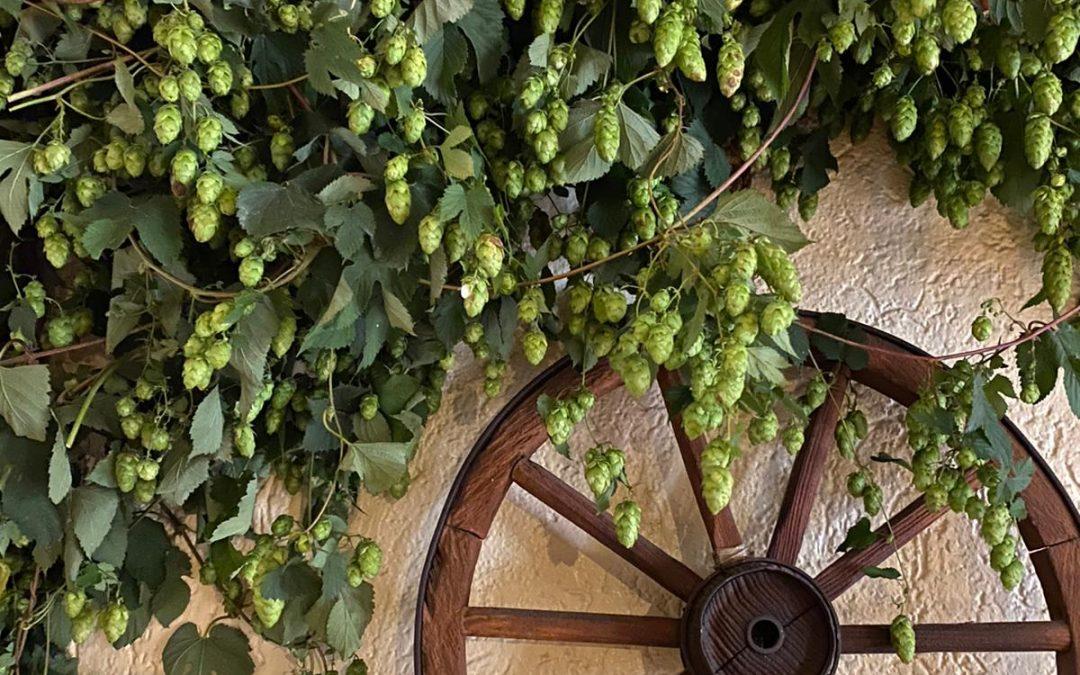 Neuer echter Hopfen als Dekoration im Restaurant – da schmeckt das Bier noch mal so gut!